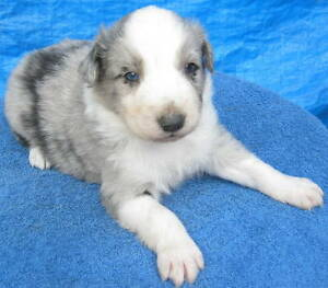 Australian Shepherd X Border Collie pups,  SOLD !!!!!!!