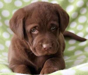 Purebred Chocolate Male Lab Pup Blacktown Blacktown Area Preview