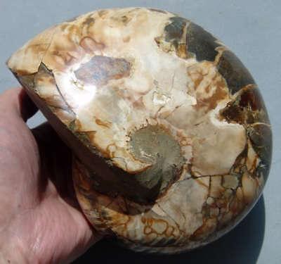 """5.5"""" Madagascar NAUTILUS AMMONITE FOSSIL Cretaceous"""