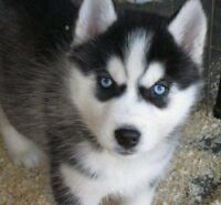 **LOOKING FOR MALE HUSKY PUPPY**