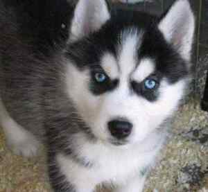 Looking for a Black and White Male Husky Puppy with Blue Eyes