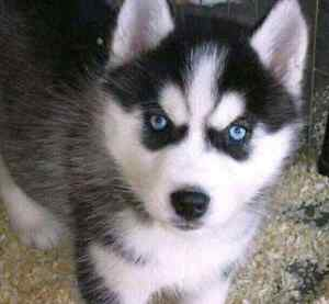 Looking for a Black and White Male SiberianHusky  with Blue Eyes