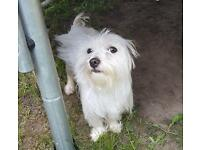 Maltese x Yorkie girl (no time wasters please)