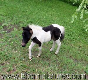Chevaux cheval miniature horse, micro mini élevé pour pettherapy