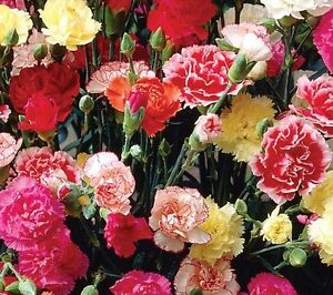 Dianthus Giant Chabaud Mix - Carnation - Appx 300 seeds - Perennial