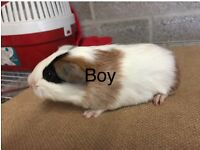 Two gorgeous baby guineapigs