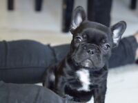 GORGEOUS CHUNKY KC REGISTERED FRENCH BULLDOGS