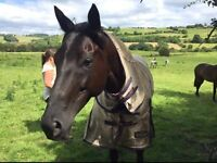 Gorgeous Black Mare 16hh 8 year old perfect allrounder