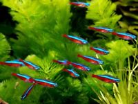cardinal tetras tropical fish £1.75