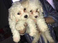 poochn puppies