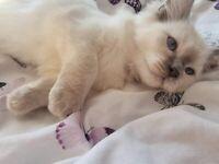 Beautiful Kittens Ragdoll