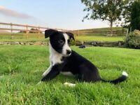 1 Stunning Border Collie Pup Left