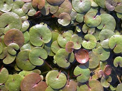 3 Pflanzen  Froschbiss Miniseerose  Schwimmpflanzen schwimmende Seerose