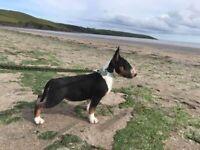 English bull terrier kc registered