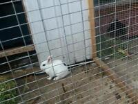 15 week old bunny female white