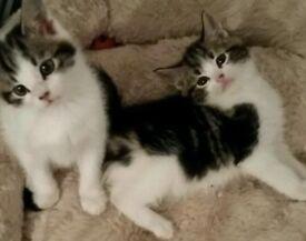Tabby and white blue eyed kittens