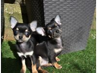 ** FOR SALE ** 2 BEAUTIFUL Chihuahua - 1 x M, 1 x F