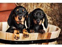 Stunning Smooth Dachshund Puppies - LEFT 2 MALES