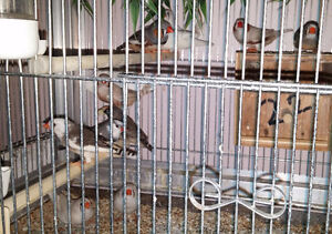 6 Adult Zebra Finches - Male & Female London Ontario image 4