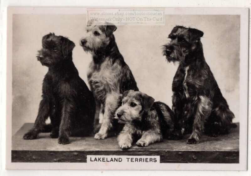 Lakeland Terriers Dog Canine Pet Animal 1930s Trade Ad Card