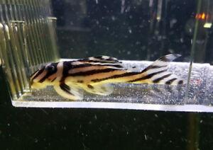 """L046 zebra pleco (2.75"""")"""