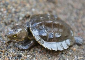 Macleay River Turtles - Babies Mentone Kingston Area Preview