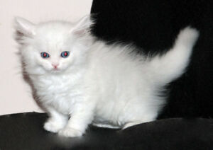 British Blue Cats That Need Rehoming