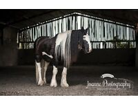Gypsy Cob 14.3 hands for part loan - Altrincham