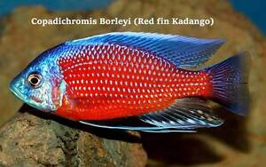 Red Fin Kadango....+ 15 other very nice African Cichlids! Ormeau Gold Coast North Preview