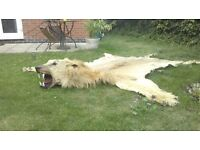 Taxidermy lion skin rug. Early 20th cent