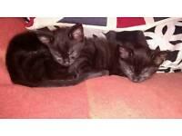 Black kittens SOLD!