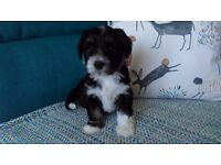 Beautiful havanese/tibetan puppies available