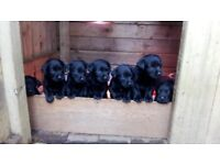 Kc registered black Labrador puppies for sale
