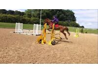 15hh Chestnut AES Mare professionally produced, Healthy and Happy Horse