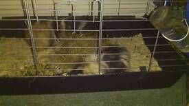 Guinea Pigs with indoor cage, hutch and run