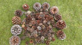 Assortment of pine cones