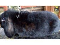 Black Minilop doe