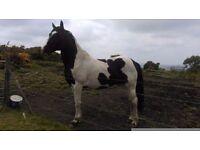 Pibald horse