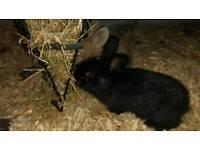 16 week old male rabbit