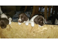 Springer Puppies for sale