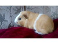 2. Baby guinea pigs