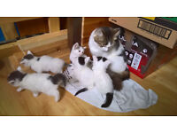 Lovely Kittens Looking For Forever Home, Syberian Cat X Domestic Cat
