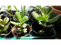 Jade or Money Plants