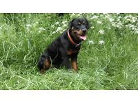 17 MONTH OLD MALE ROTWEILER FOR SALE LOVELY TEMPERAMENT, GOOD HOME ONLY NEUTERD & JABS UP TO DATE !
