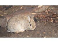 BROWN FEMALE Nederland drwarf rabbit