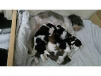 Shihtzu puppy