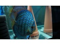 Discus Fish Red Turquoise Pair