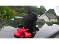 Gorgeous pure breed Netherland Dwarf buck