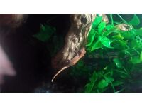 3 x crested Gecko baby