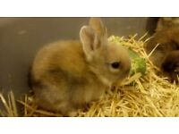 Beautiful baby Lionshead rabbits